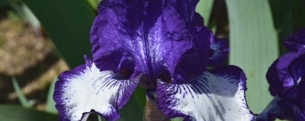 Iris de Bagatelle #1,