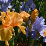 le temps des Iris, à Bagatelle